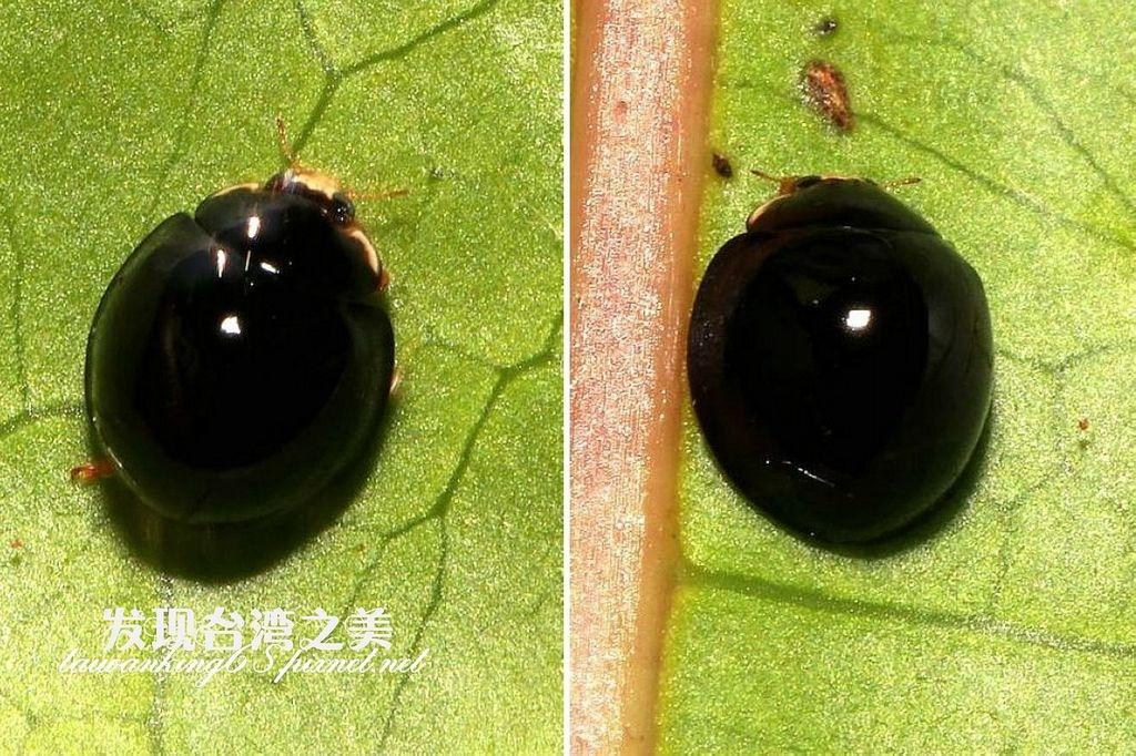 變斑盤瓢蟲