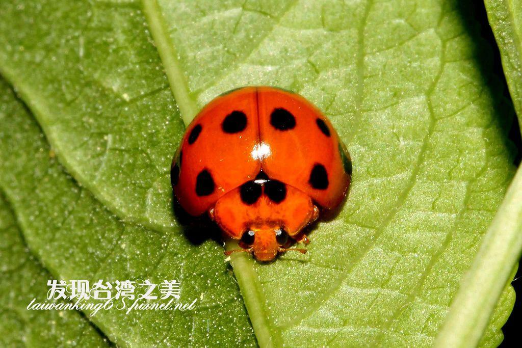 小十三星瓢蟲