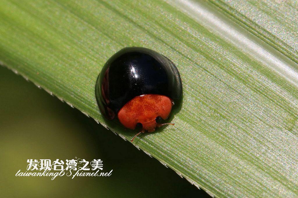 紅胸黑瓢蟲