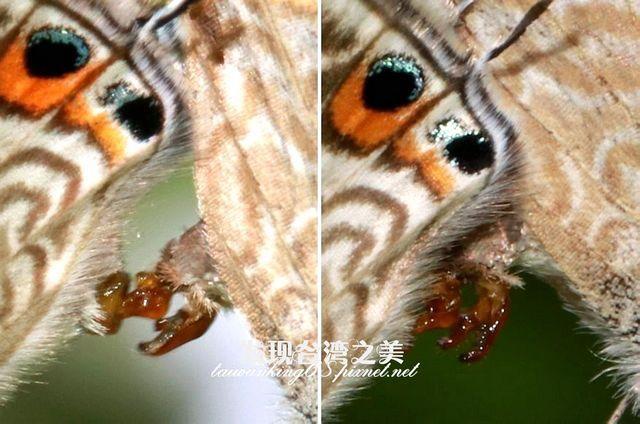 波紋小灰蝶交尾