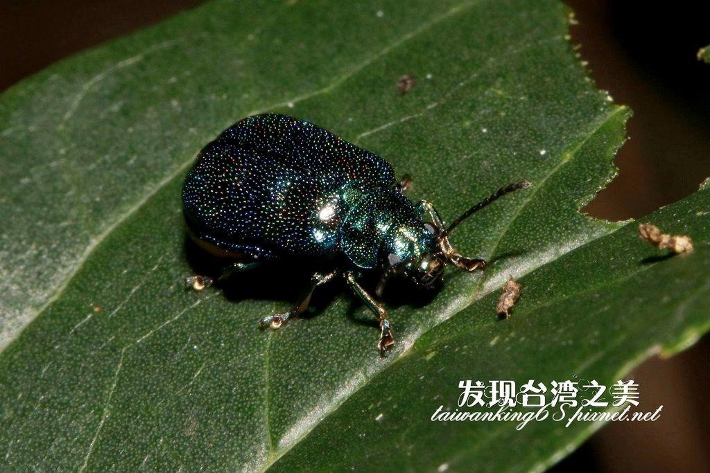 紅紋麗螢金花蟲藍色型個體