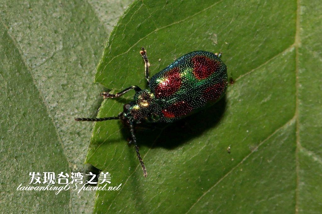 紅紋麗螢金花蟲