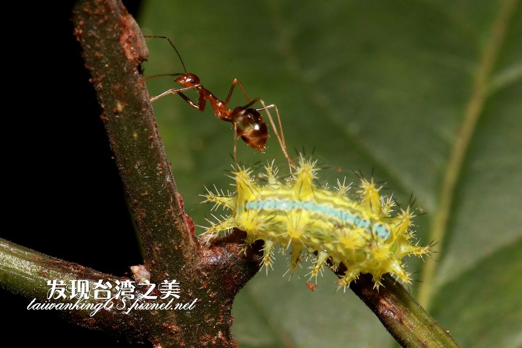 螞蟻與肖媚綠刺蛾(幼蟲)