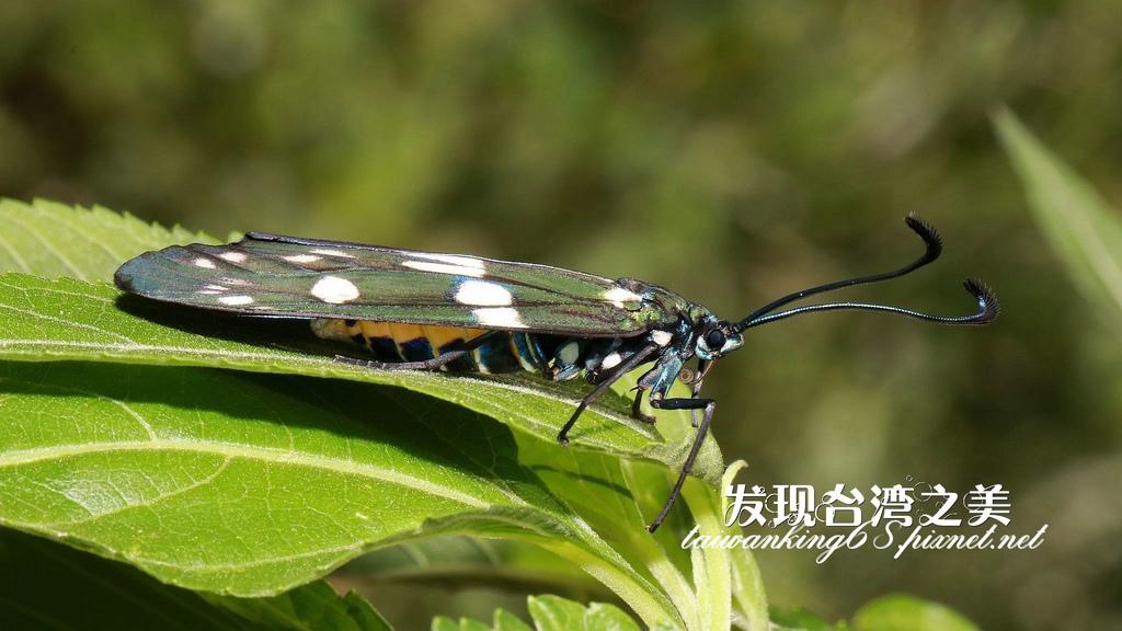 蓬萊茶斑蛾