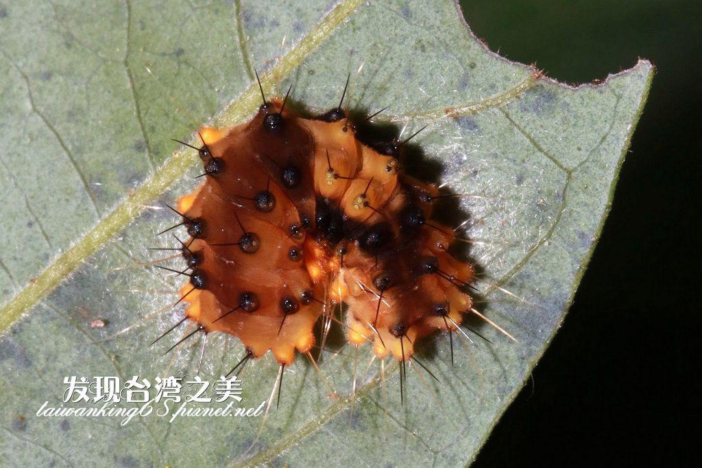 蓬萊茶斑蛾幼蟲
