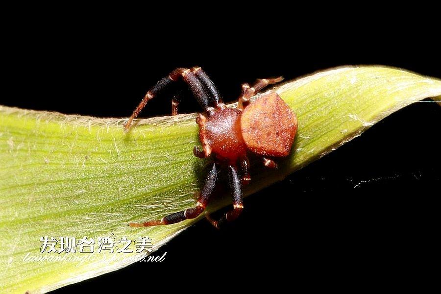 廣西三角蟹蛛 Thomisus guangxicus Song & Zhu, 1995