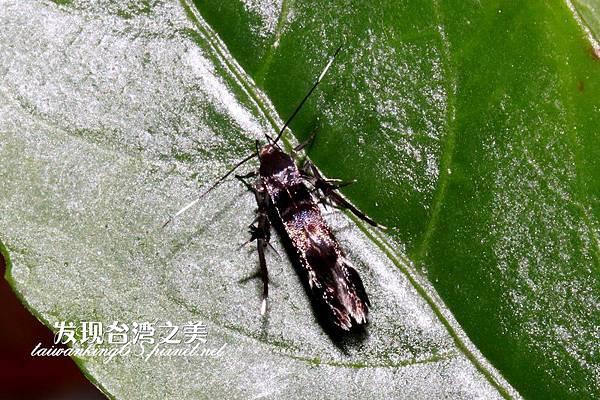 折角紋翅蛾(拍攝於大雪山)