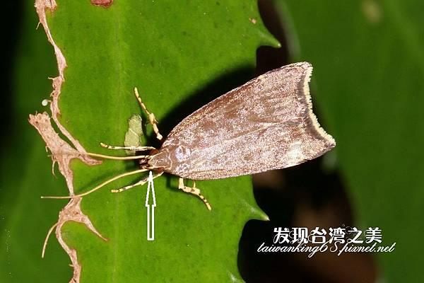 折角蛾(拍攝於大雪山)