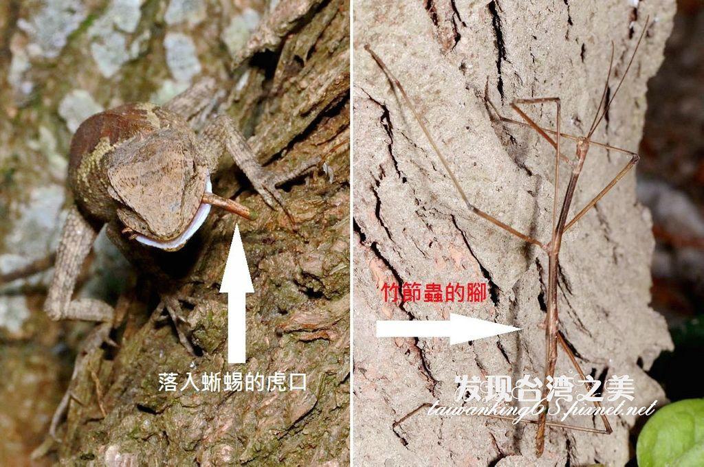 黃口攀蜥 竹節蟲
