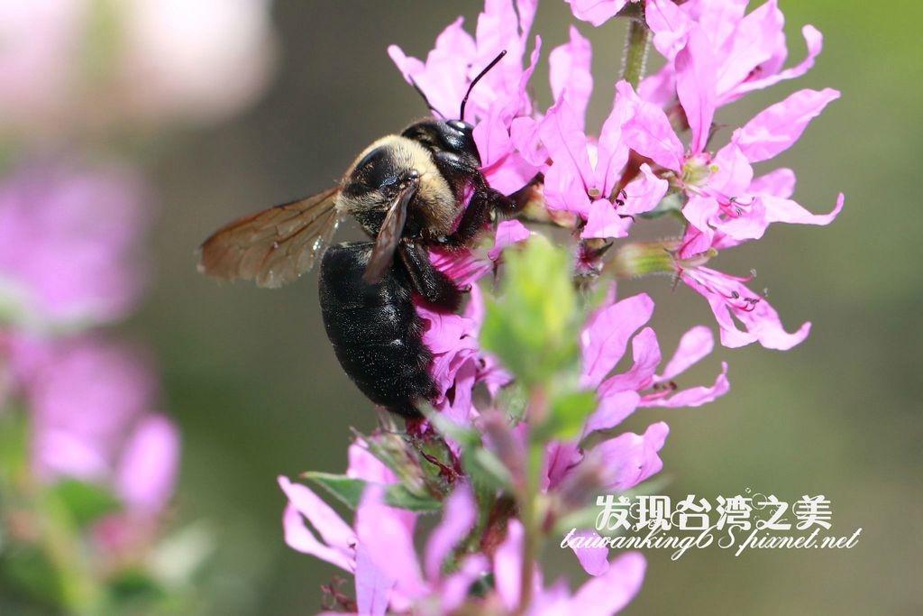 白領帶木蜂紹德亞種 Xylocopa collaris