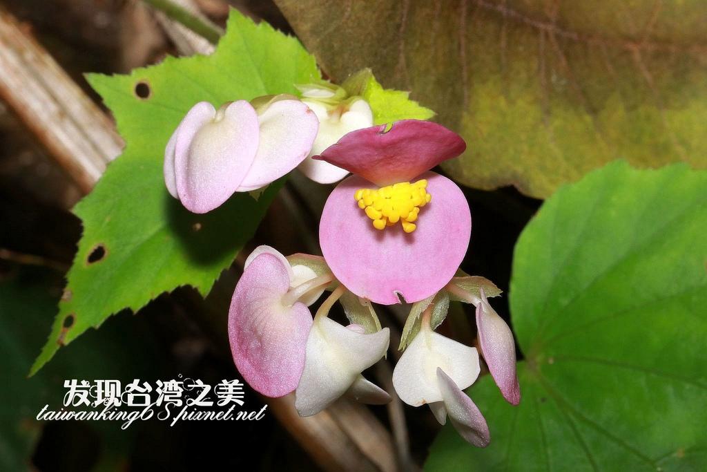 岩生秋海棠
