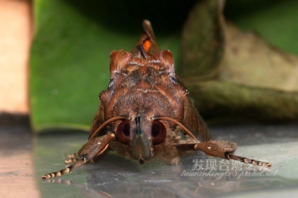 中南夜蛾幼蟲