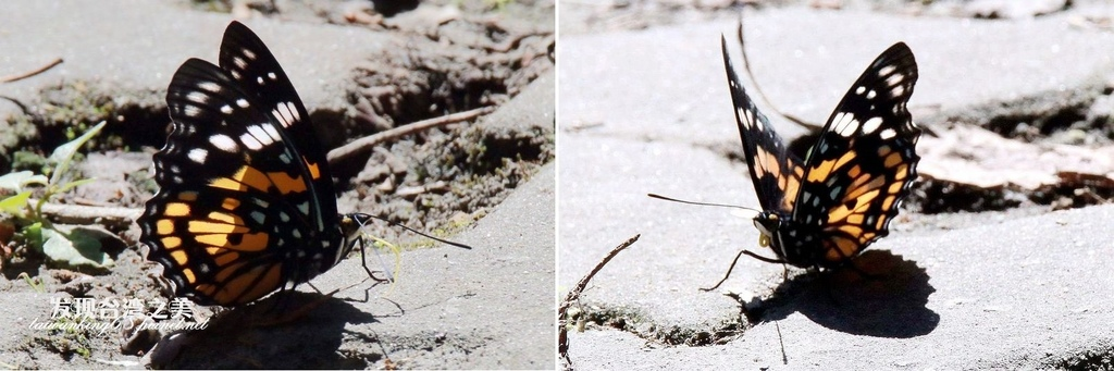 黃斑蛺蝶(雄)