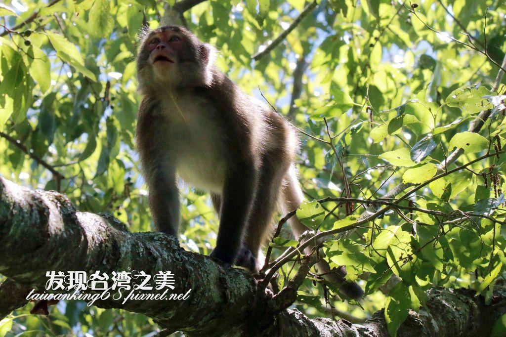 大雪山獼猴