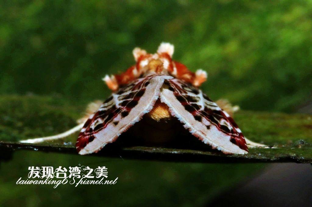 彩翅斜紋夜蛾