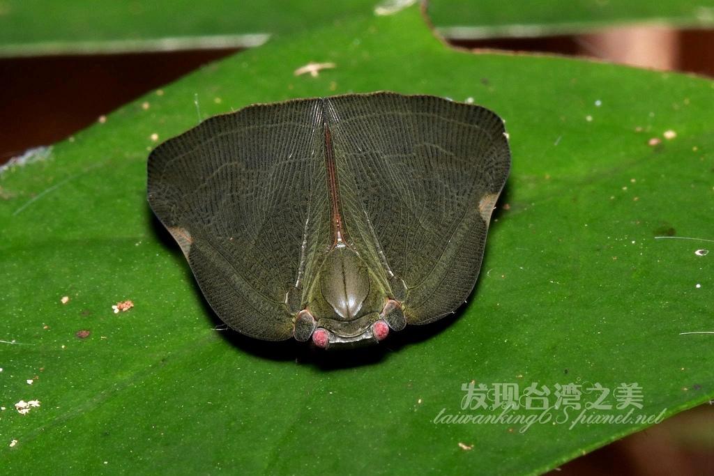 白痣廣翅蠟蟬
