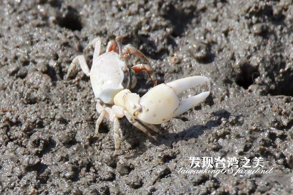 清白招潮蟹