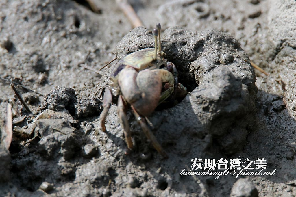 弧邊招潮蟹