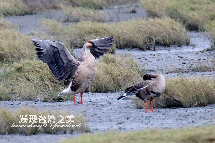 高美濕地的鴻雁