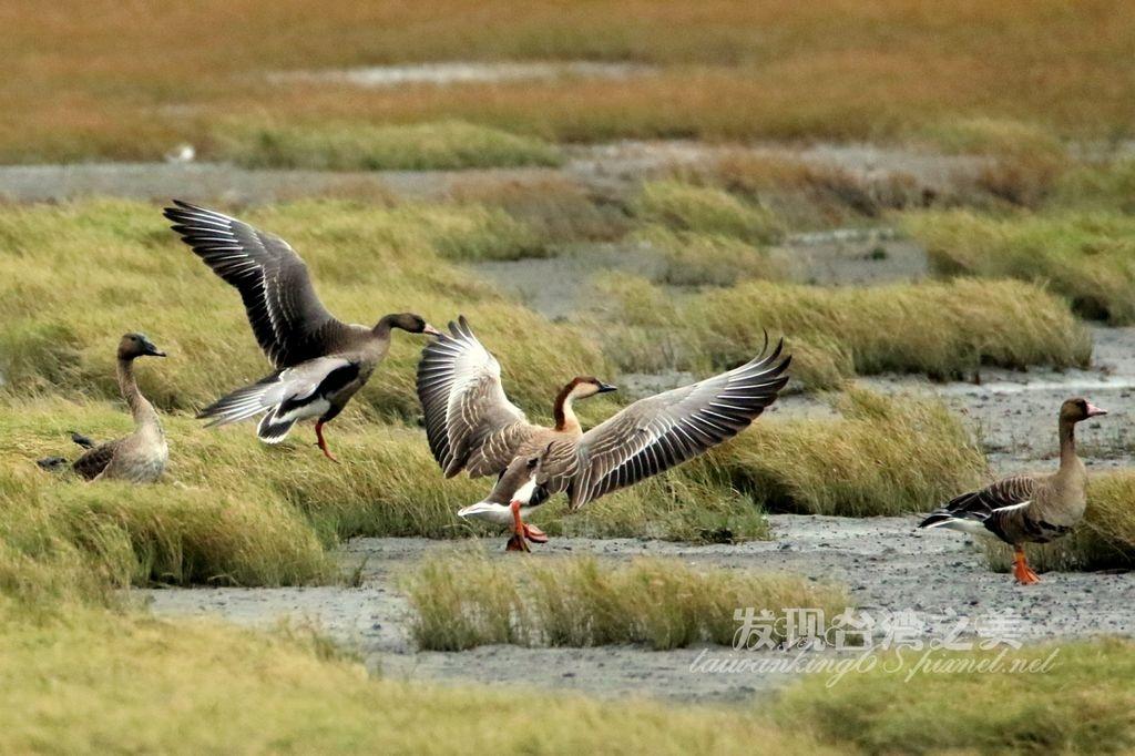 高美濕地飛來許多寒林豆、雁鴻雁與白額雁