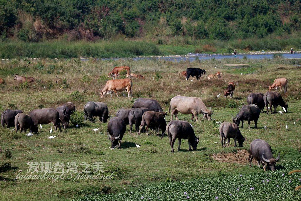 台中烏日烏溪放牧牛群