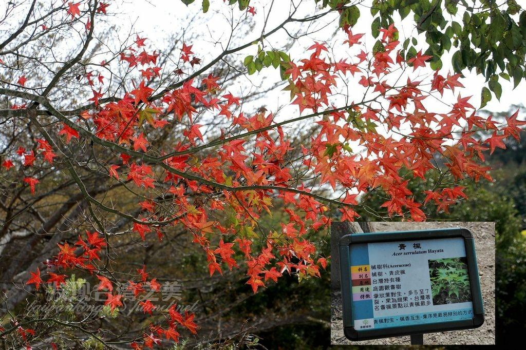 三義鯉魚潭的青楓