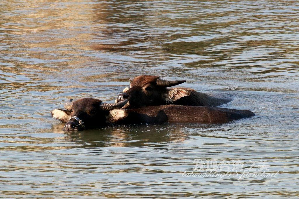 貓羅溪的放牧牛群