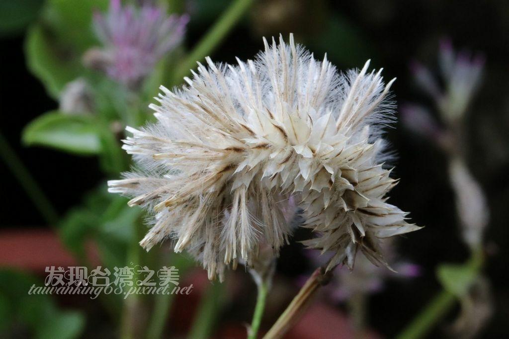 澳洲狐尾草