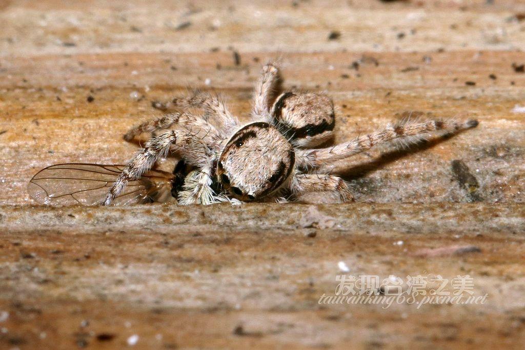 雙帶扁蠅虎(雌)