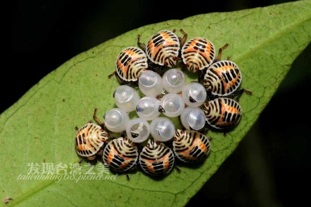 黃斑椿象卵