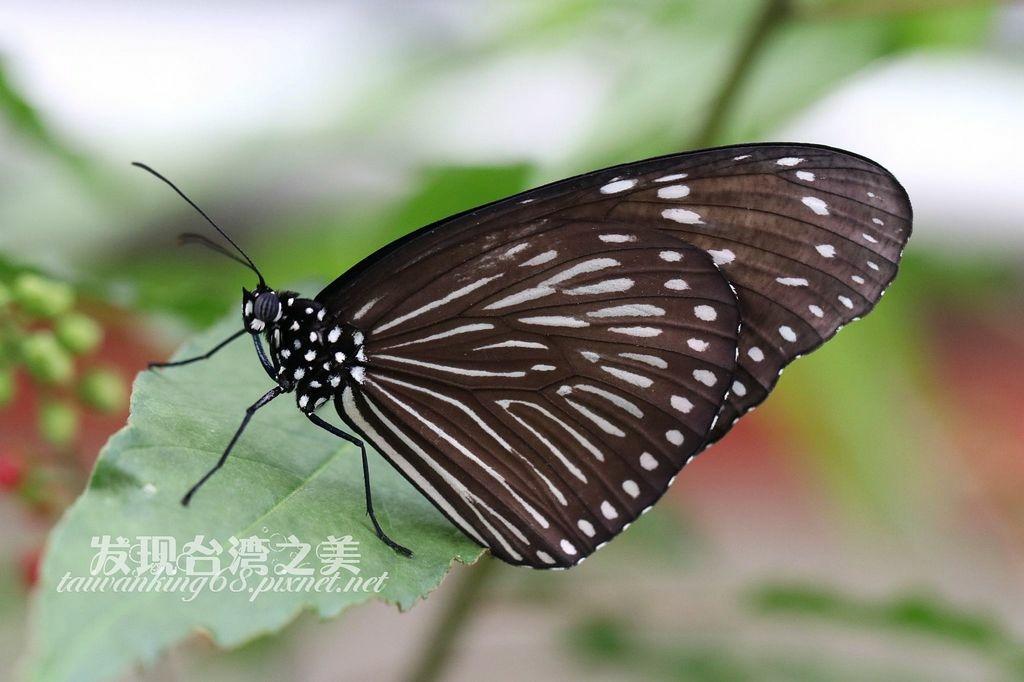雌端紫斑蝶