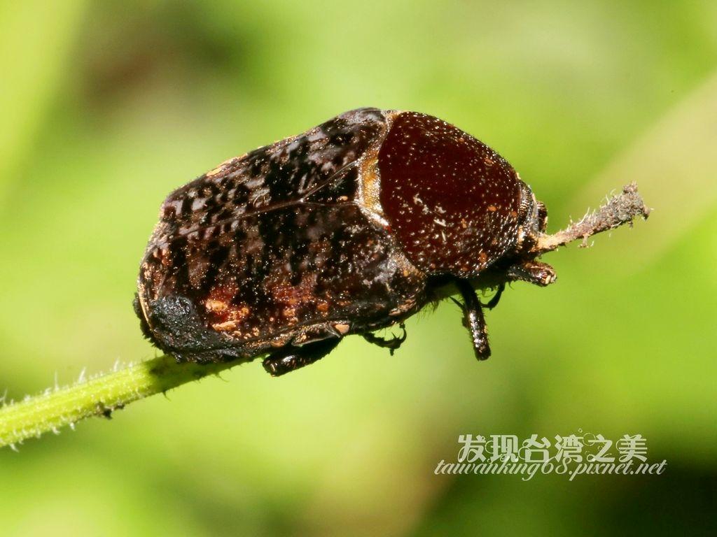 橙斑花金龜