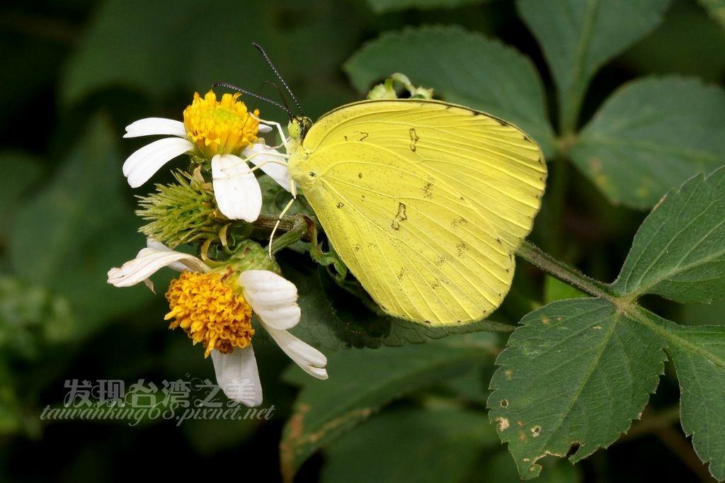台灣黃蝶雄蟲