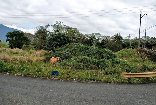 前往鸞山的路上遇到的牛