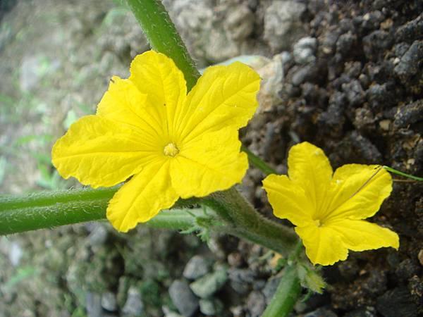 小黃瓜開花 (1)
