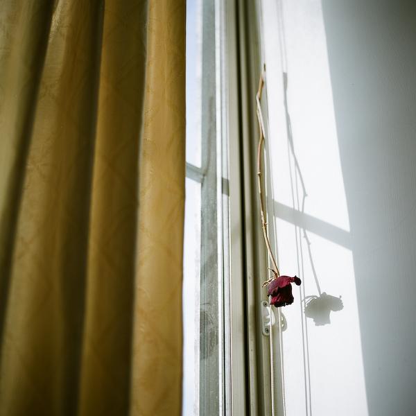 生日的玫瑰