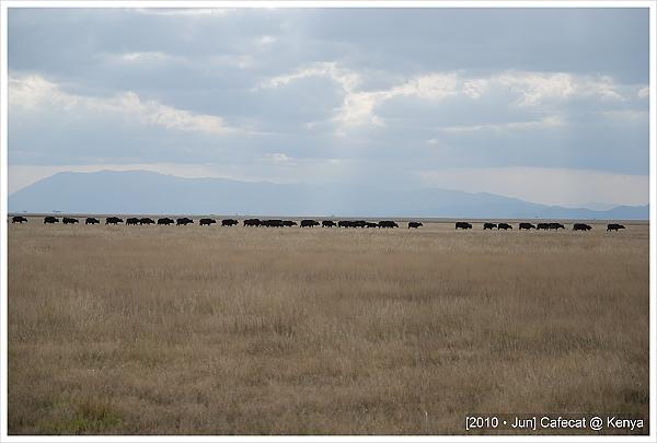 水牛吃飽排隊回家睡覺