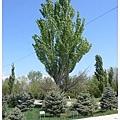 0421 紀念大屠殺種的樹