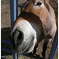 0427 歪頭裝可愛的大頭馬