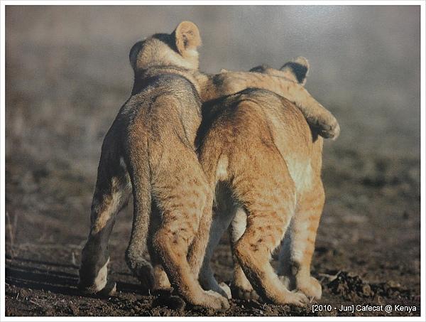 攝影書裡面的圖片~Big Five之獅子