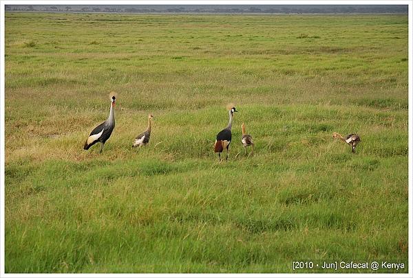 冠鶴Crowned Crane