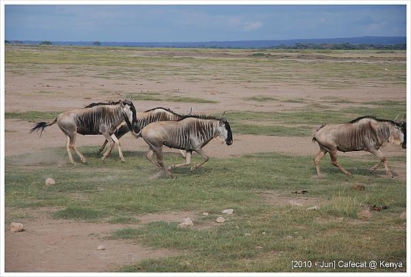 牛羚wildebeest