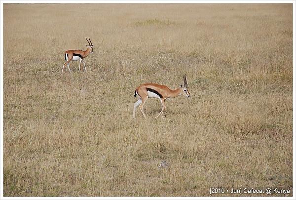 湯氏蹬羚Thomson's Gazelle