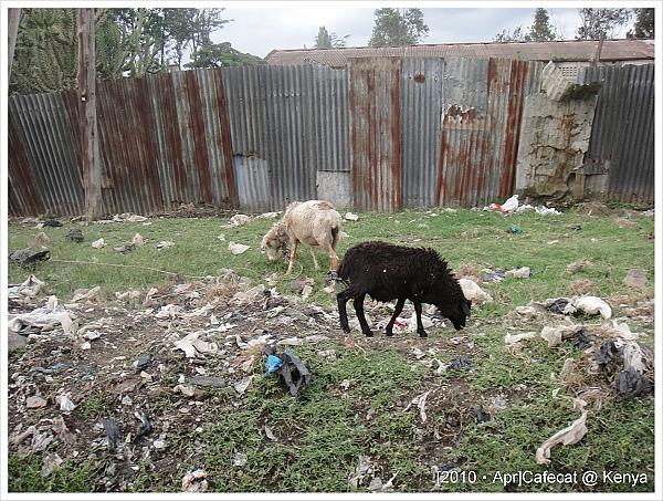 我一直盯著路上的綿羊笑,結果肯亞人以為台灣沒有羊