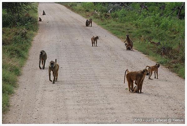 整條路上都是不怕車撞的狒狒