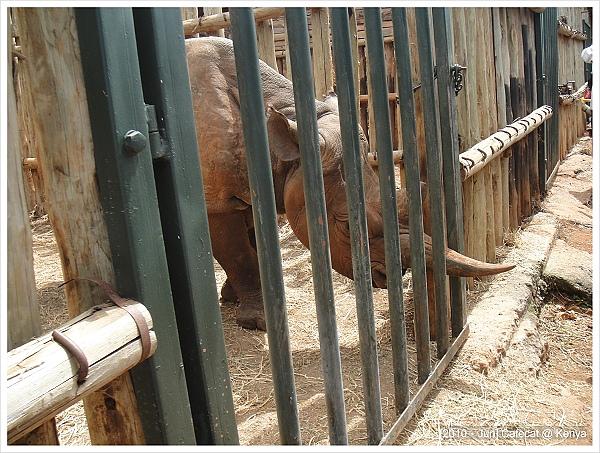黑犀牛很兇一直想撞遊客