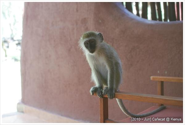 囂張的猴子霸佔我們的陽台