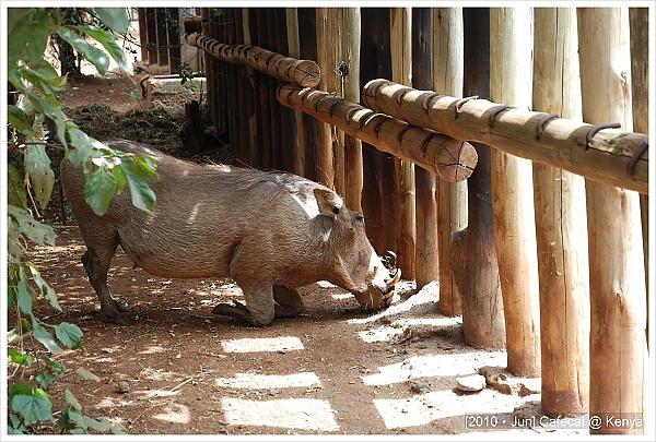 這隻疣豬一直跪著吃東西