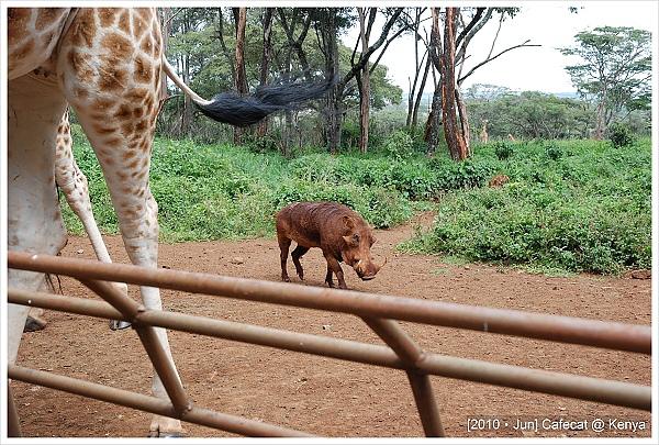 彭巴都在長頸鹿腳邊撿掉下來的飼料吃