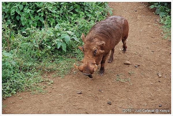 除了長頸鹿還有很多疣豬~彭巴